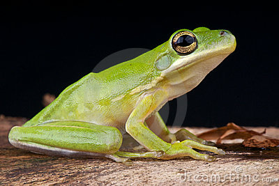 American Green Tree Frog Royalty Free Stock Photos - Image ...