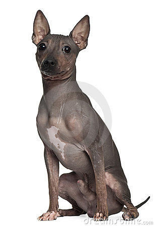 American Hairless Terrier, 6 months old, sitting