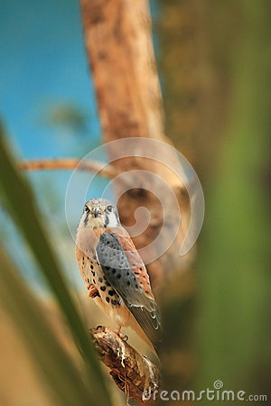 Free American Kestrel Stock Photos - 28410683