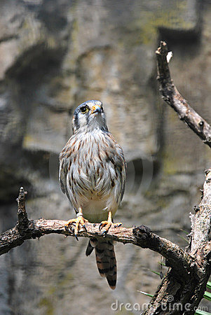 American Kestrel bird sitting on a tree branch