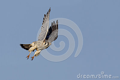 American Kestrel (Falco sparverius) in flight