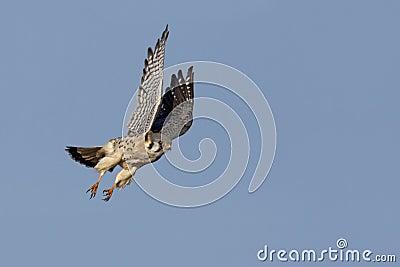 American Kestrel (Falco sparverius) in flight