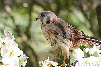 American Kestrel, a Member of the Hawk Family