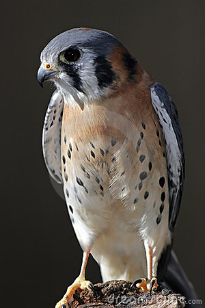 Free American Kestrel Perched Stock Image - 410341