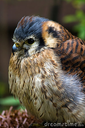 American kestrel or Sparrow hawk