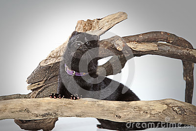 American mink crawls on branches