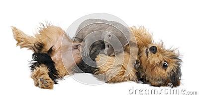 American Mink, Neovison Vison, 3 months old,
