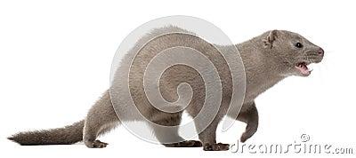 American Mink, Neovison Vison, 3 months old
