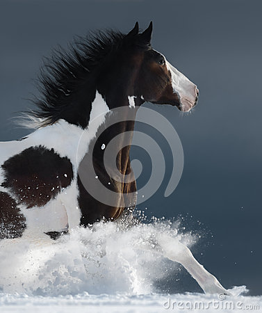 Free American Paint Horse Running Gallop Across A Winter Snowy Field Stock Image - 91125171