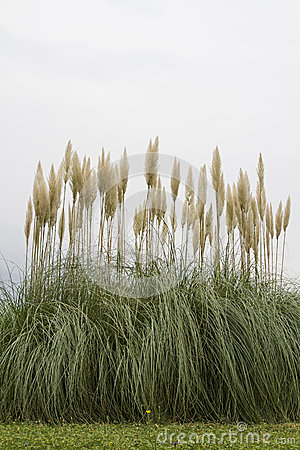 Free American Pampas Grass Royalty Free Stock Images - 47947879