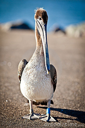 Free American Pelican Stock Images - 24019994