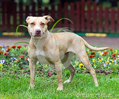 American Pit Bull Terrier standing