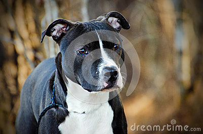 American Pitbull Terrier Bulldog dog Stock Photo