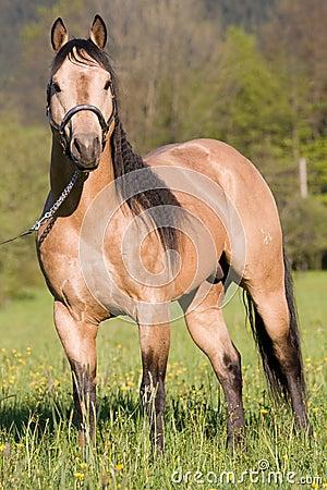 Free American Quarter Horse Posing Stallion Royalty Free Stock Images - 22623779