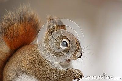 American Red Squirrel Portrait