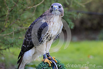 American Red-tailed Hawk