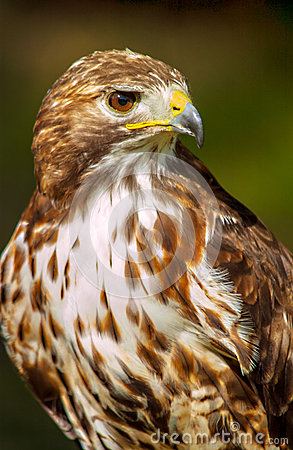 Free American Red-tailed Hawk Stock Photo - 92728430