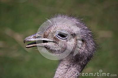 American rheas head