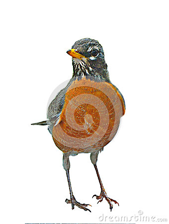 Free American Robin Stock Images - 24776584