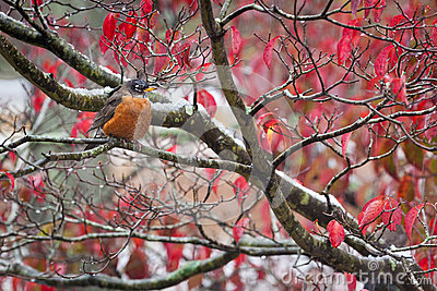 An American Robin in Autumn