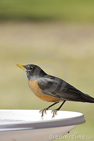 Free American Robin Drinking Royalty Free Stock Images - 19706599