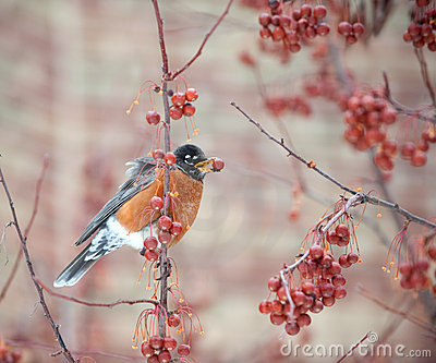 American robin feeding in berry tree
