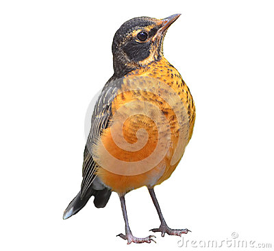 Free American Robin Isolated On White Stock Image - 36257781
