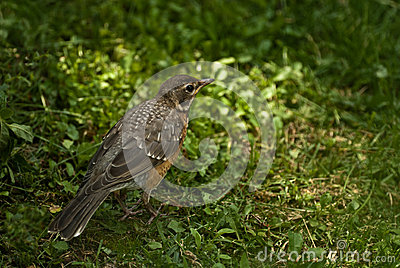American Robin Juvenile-Back View