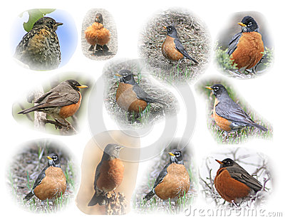 American Robin montage
