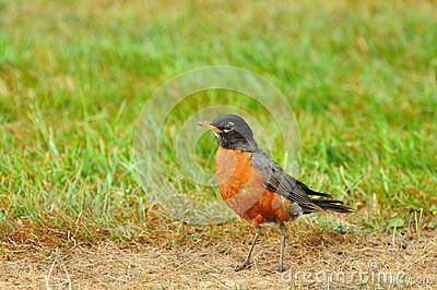 American robin on the prowl