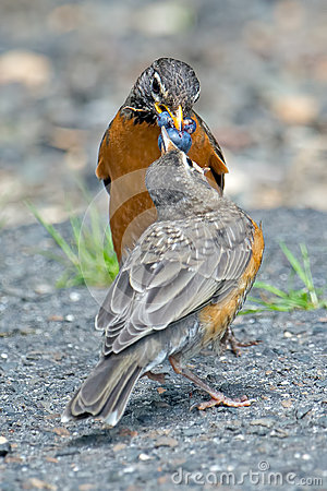 Free American Robin S Royalty Free Stock Photo - 31493815
