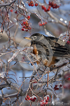 Robin in Icy Tree with Berries