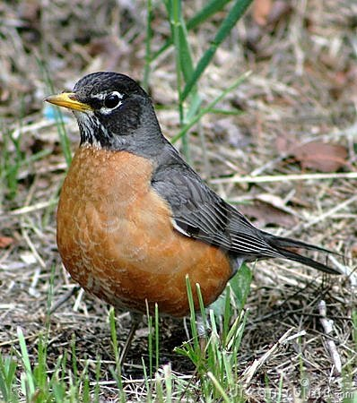 Free American Robin (Turdus Migratorius) Stock Image - 6079891