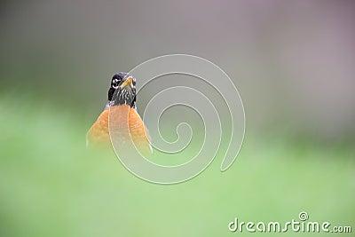 American Robin (Turdus migratorius migratorius)