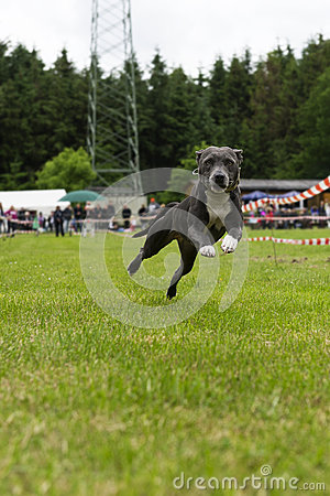 American staffordshire bullterrier in action