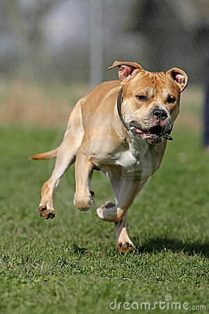 Free American Staffordshire Terrier Stock Photo - 15918370