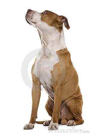 American Staffordshire terrier, 9 years old