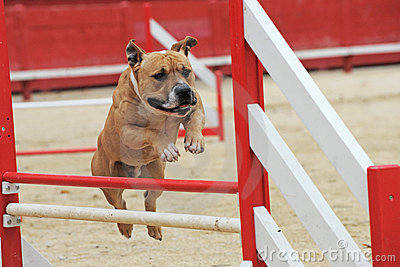 American staffordshire terrier in agility