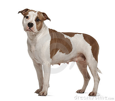 American Staffordshire Terrier, standing