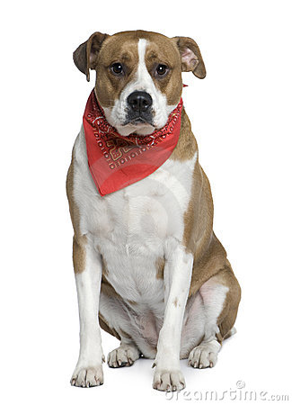 American Staffordshire wearing handkerchief
