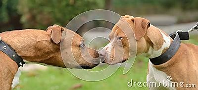 American terriers