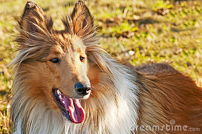 American true-bred collie