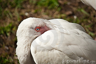 Bird with head under white wings