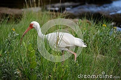 American White Ibis II