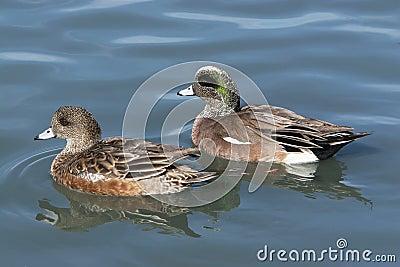 American Wigeon Duck Pair