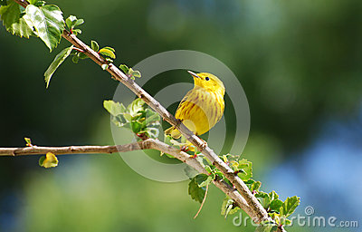 An American Yellow Warbler in Hibiscus bush.