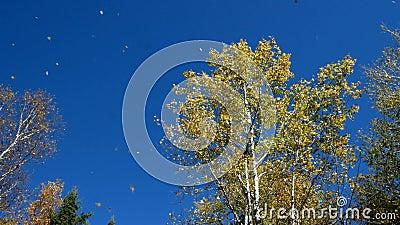 Americano Aspen Trees Against Blue Sky com queda das folhas vídeos de arquivo