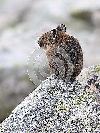Americano Pika en una roca