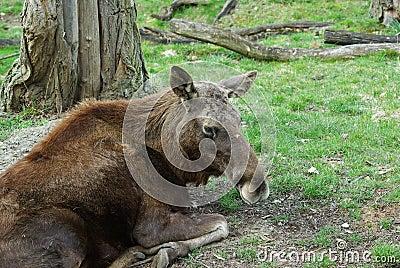 Amerikaanse elanden - Europese elanden Europa (Alces alces)