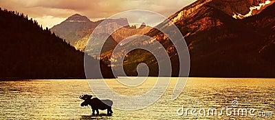 Amerikaanse elanden in meer bij zonsondergang